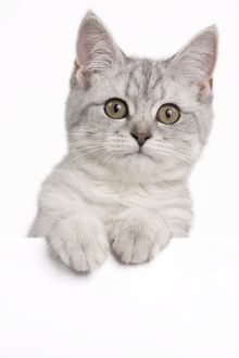 Cat - Blue Scottish Fold - with straight ears