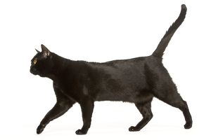 Cat - Bombay. Walking with tail raised, side view