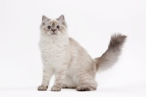 Cat - British longhair