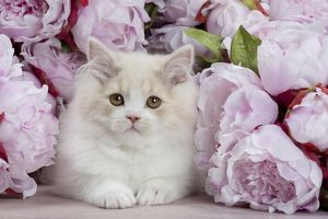 Cat - British Longhair - 2 month old kitten amongst flowers