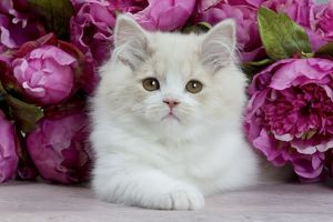 Cat - British Longhair - 2 month old kitten amongst flower