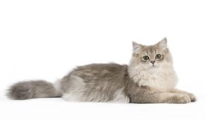 Cat - British Longhair (Highland Straight) Golden Shaded