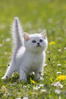 Cat - British Longhair kitten