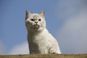 Cat - British Longhair on roof
