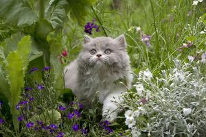 CAT - British longhaired cat