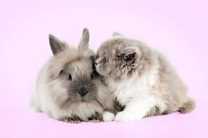 CAT - British longhaired cat sitting with lionhead rabbit