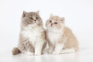 CAT - British longhaired cats