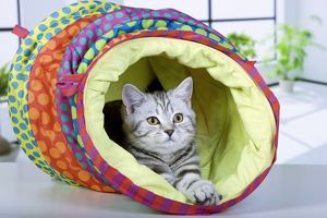 Cat - British Short Hair Silver Tabby - in cat tube-house