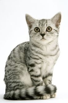 Cat - British Shorthair Silver Spotted Tabby Kitten
