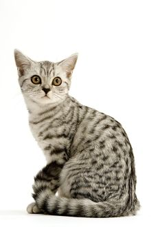 Cat - British Shorthair Silver Spotted Tabby Kitten sitting down