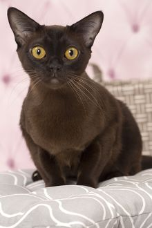 Cat Brown Burmese