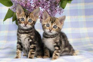 CAT. Brown Marble blue-eyed Bengal kittens - 6 weeks old, with lilac