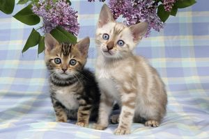 CAT. Brown Marble & Snow Marble blue-eyed Bengal kittens -6 weeks old, under lilac