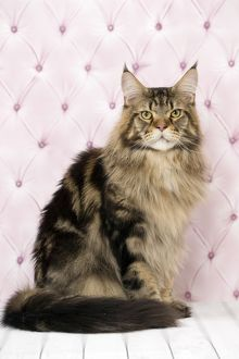 Cat Brown Tabby Maine Coon