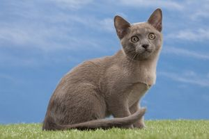 Cat - Burmese Blue - 3 month old kitten