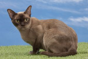 Cat - Burmese chocolate - 2 years old