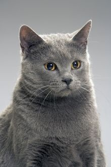 Cat - Chartreux