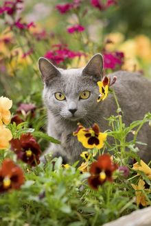 Cat - Chartreux amongst flowers