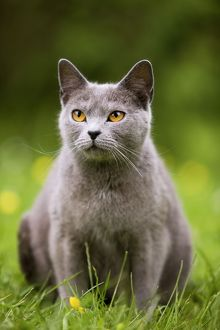 Cat - Chartreux in garden