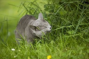 Cat - Chartreux in garden eating grass