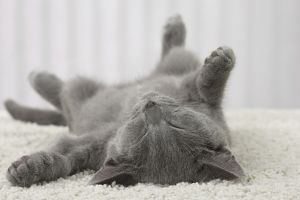 Cat - Chartreux kitten 3 months old. sleeping