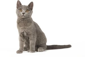 Cat - Chartreux kitten