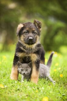 loving animals/cat chartreux kitten german shephern alsatian