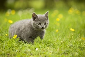 Cat - Chartreux kitten stalking