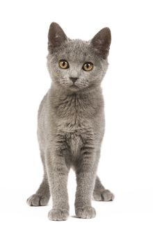 Cat - Chartreux Kitten in studio