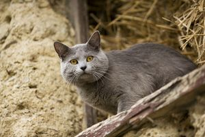 Cat - Chartreux looking out of barn