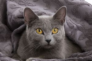 Cat - Chartreux lying in blanket