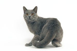 Cat - Chartreux, Short-haired