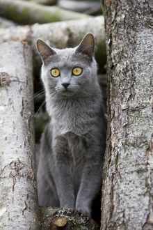 Cat - Chartreux sitting on tree stump