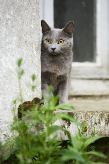 Cat - Chartreux sitting on windowsill