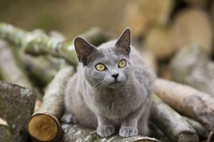 Cat - Chartreux sitting on woodpile