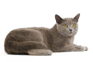 Cat - Chartreux in studio