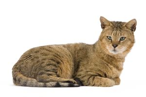 Cat - Chausie Brown Spotted Tabby: Jungle Cat (Felis