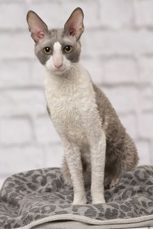 Cat Cornish Rex