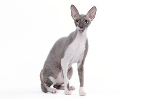 Cat - Cornish Rex