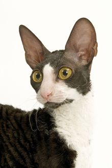 Cat - Cornish Rex, Black & White shorthair Bicolour