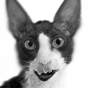 Cat - Cornish Rex - close-up of face. Black & White