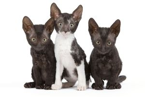 Cat - Cornish Rex - kittens
