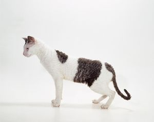 CAT - Cornish Rex, White and Black Smoke