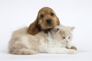 Cat & Dog - British Longhair kitten - Cocker Spaniel puppy