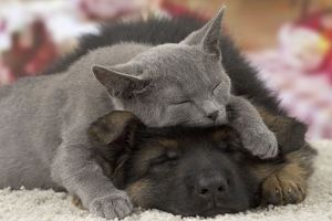 Cat & Dog - Chartreux kitten & German Shepherd