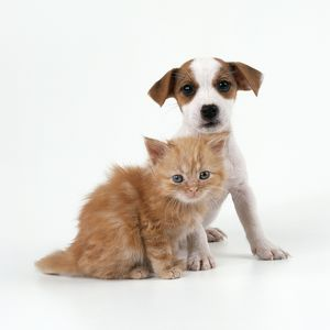 Cat & Dog - Ginger Kitten & Jack Russell Terrier puppy