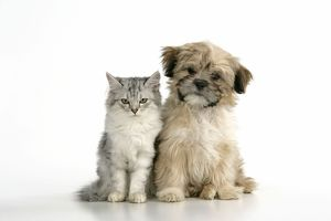 CAT & DOG. Tiffanie with Lhasa Apso cross puppy