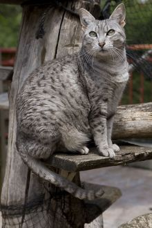 Cat - Egyptian Mau - in cattery