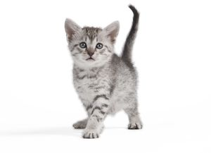 Cat - Egyptian Mau Kitten