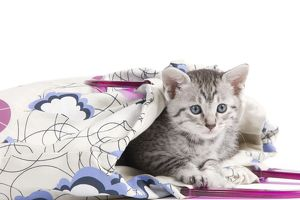 Cat - Egyptian Mau - Kitten